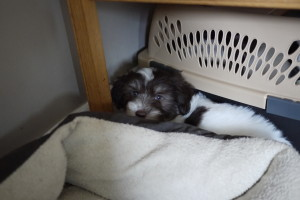Riley will be going to live in Ayer on June 13th, he's sleeping in and next to his new travel crate and is ready to go.